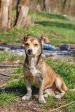 Hemlösen förföljer En hemlös gullig brun hund går i natur En hund r Royaltyfri Fotografi