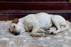 hemlöst tillfälligt thai för hund Royaltyfri Fotografi