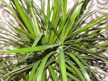 Hemlagad växtdracaenagräsplan på bakgrundsväggen royaltyfria foton