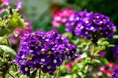 Hemlagade lilablommor Royaltyfri Fotografi