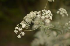 Hemlock σε μια δασώδη περιοχή, UK στοκ εικόνες