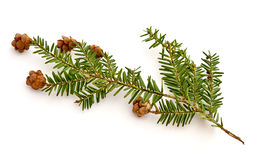 Hemlock Royalty Free Stock Photo