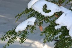 Hemlock branch with cones and snow Royalty Free Stock Photo