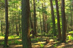 Hemlock Forest Royalty Free Stock Image