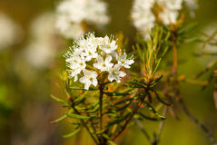 Hemlock in the forest area around Murmasnk Royalty Free Stock Images
