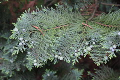 Hemlock green tree Royalty Free Stock Photo