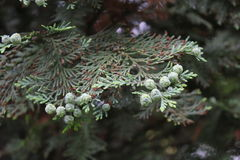 Hemlock green tree 7879 Stock Photography