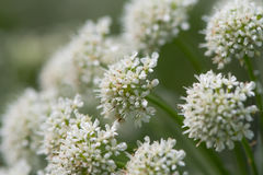 Hemlock water dropwort Oenanthe crocata inflorescence. Highly poisonous flowers in umbel on plant in the carrot family Apiaceae Stock Image