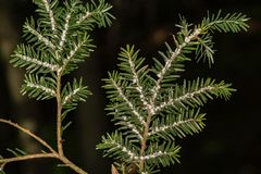 Hemlock Woolly Adelgid. A close up of Hemlock Woolly Adelgid infestation in New England Stock Photography