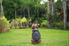 Hemmastadd beaglehund bara Royaltyfria Foton