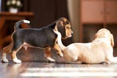Hemmastadd beaglevalp Royaltyfri Foto