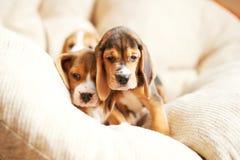 Hemmastadd beaglevalp Royaltyfria Bilder