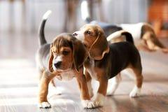 Hemmastadd beaglevalp Royaltyfri Bild