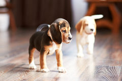 Hemmastadd beaglevalp Arkivbilder