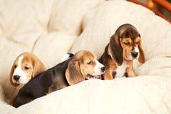 Hemmastadd beaglevalp Arkivfoto