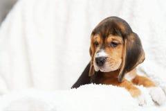 Hemmastadd beaglevalp Royaltyfri Fotografi