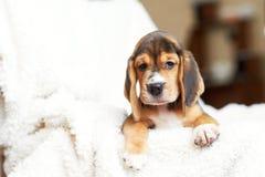Hemmastadd beaglevalp Royaltyfria Foton