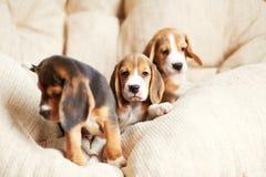 Hemmastadd beaglevalp Arkivfoton