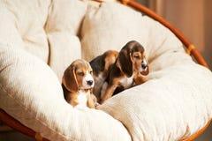 Hemmastadd beaglevalp Arkivbild