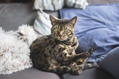 Hemmastadd Bengal katt arkivbilder