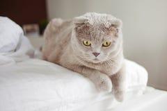 Hemmastadd Gray British katt och att ligga på sängen Fotografering för Bildbyråer