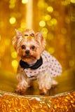 Hemmastatt nytt år 2018 för Yorkshire terrier med glödande guld- bokeh som bakgrund Royaltyfri Foto