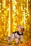 Hemmastatt nytt år 2018 för Yorkshire terrier med glödande guld- bokeh som bakgrund Arkivfoto
