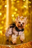 Hemmastatt nytt år 2018 för Yorkshire terrier med glödande guld- bokeh som bakgrund Fotografering för Bildbyråer