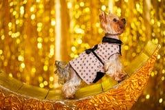 Hemmastatt nytt år 2018 för Yorkshire terrier med glödande guld- bokeh som bakgrund Arkivbilder