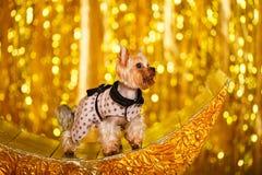 Hemmastatt nytt år 2018 för Yorkshire terrier med glödande guld- bokeh som bakgrund Royaltyfri Bild