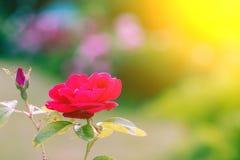 Hemmet steg Rosor i natur Att bo steg Rosa sidosikt Arkivfoto