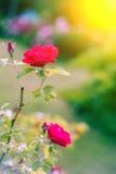 Hemmet steg Rosor i natur Att bo steg Rosa sidosikt Royaltyfria Bilder
