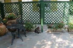 Hemmingway cat in the patio Stock Photo