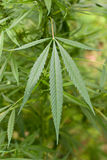 Hemp Royalty Free Stock Photo