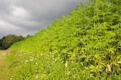 Hemp. A field with Hemp (Cannabis sativa) under dark clouds Stock Photos