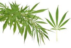 Hemp (cannabis) stock photography