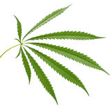 Hemp (cannabis) Stock Photos