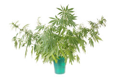 Hemp (cannabis) in the bucket Stock Image
