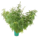 Hemp (cannabis) in the bucket Stock Images