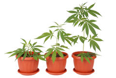 Hemp (cannabis) Royalty Free Stock Photography