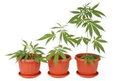 Hemp (cannabis) Royalty Free Stock Photography