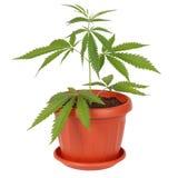 Hemp (cannabis) in a flowerpot Stock Images