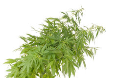 Hemp (cannabis) Royalty Free Stock Photos