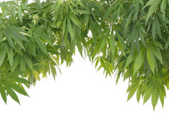 Hemp (cannabis) Royalty Free Stock Photo