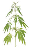 Hemp (cannabis) Stock Image