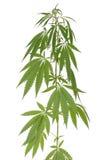Hemp (cannabis) Royalty Free Stock Photos