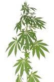 Hemp (cannabis) Royalty Free Stock Photo