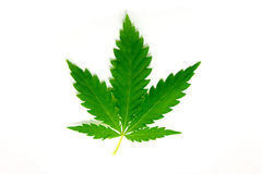 Hemp. Cannabis leaf is isolated on white background Royalty Free Stock Image