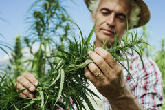 Hemp farming royalty free stock photos