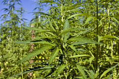 Hemp field Stock Photography